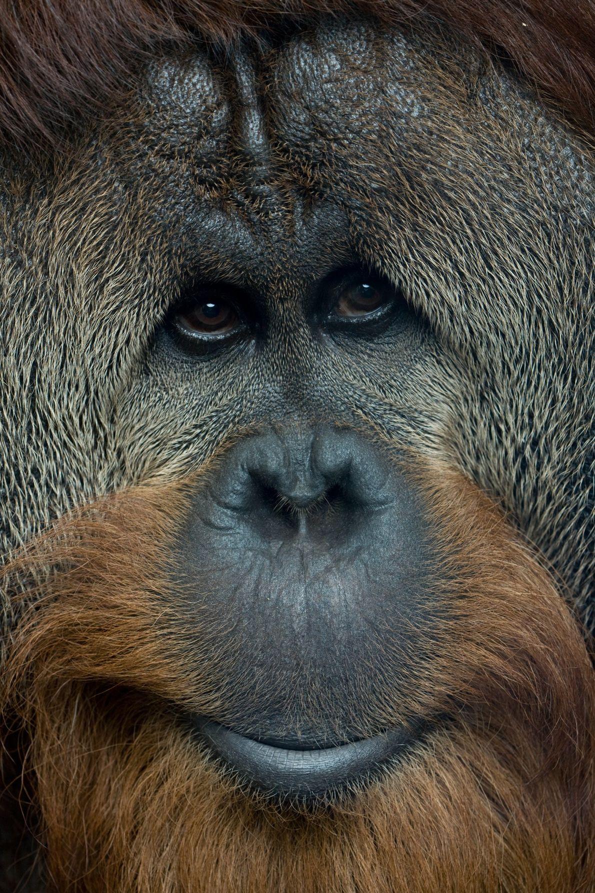 En estado salvaje, las poblaciones individuales de orangutanes tienen comportamientos aprendidos únicos que pasan de generación ...
