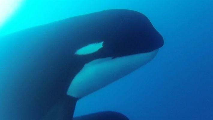 Se confirma la presencia de la misteriosa orca tipo D en Chile