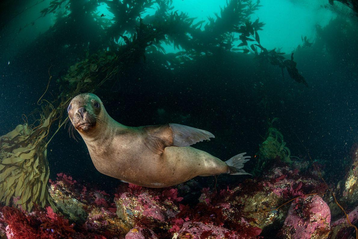 Un león marino sudamericano nada frente a la Isla de los Estados, en la parte argentina ...