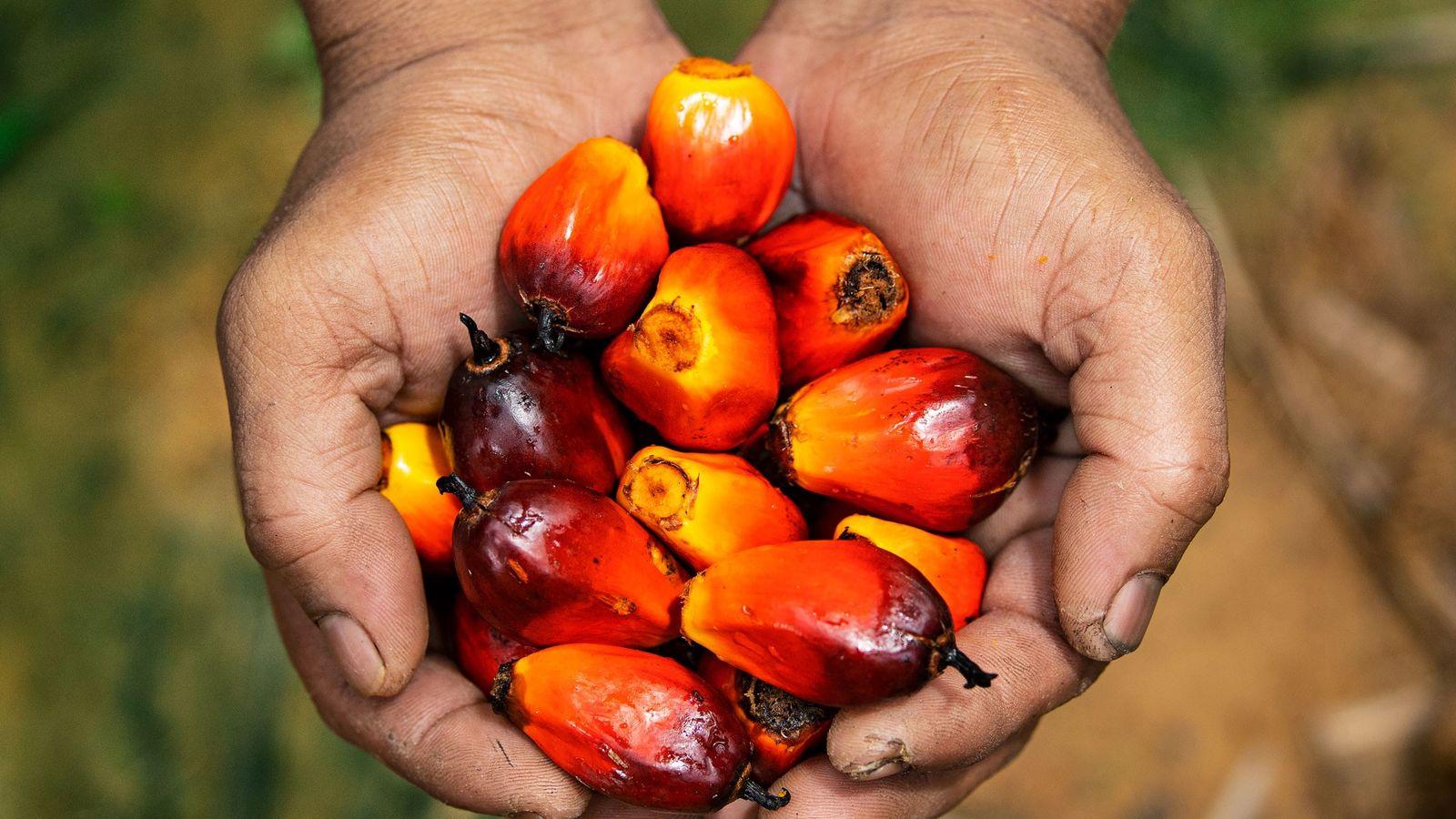 Un trabajador en una plantación malaya muestra algunas frutas de palma, fuente del aceite comestible más ...