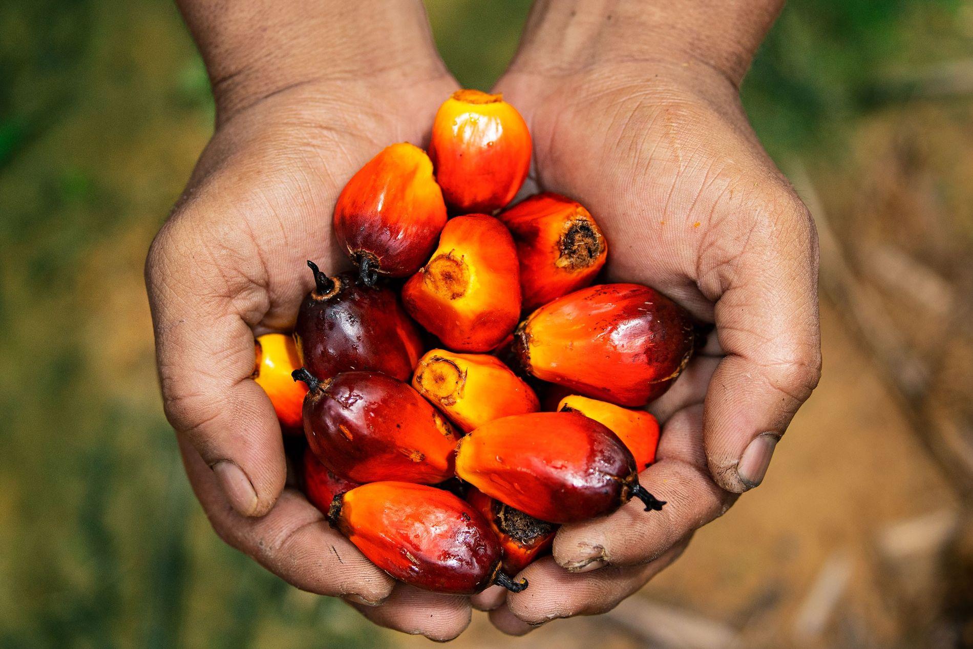 Un trabajador en una plantación malaya muestra algunas frutas de palma, fuente del aceite comestible más popular del mundo.