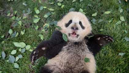 Tiernas fotografías de pandas