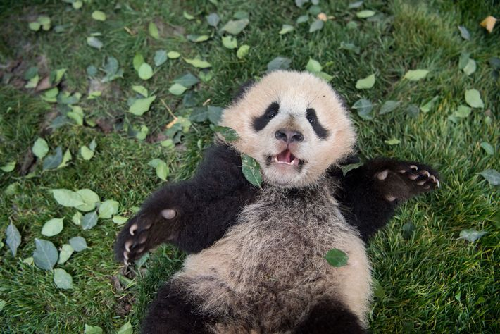 Un cachorro de panda gigante descansa sobre el césped en el Centro de cría e investigación ...