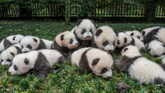 Sacan a un inmenso grupo de cachorros de panda gigante para un retrato en el Centro ...