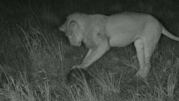 Video extraño: un león juega con un pangolín