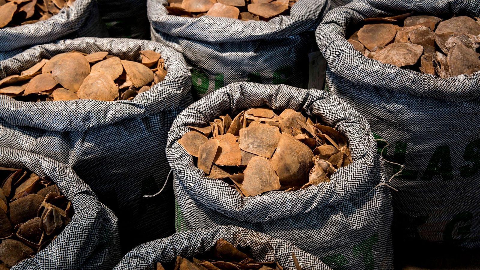 Más de 128 toneladas de escamas y carne de pangolín fueron interceptadas mundialmente el año pasado, un ...