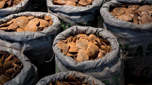 Tráfico ilegal: las confiscaciones de escamas de pangolín alcanzaron un máximo histórico en 2019