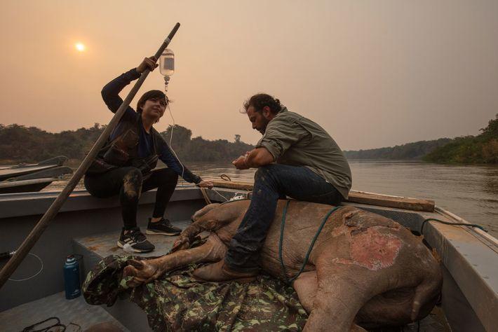 Los veterinarios voluntarios Antônio Carlos Csermak Jr. y Amanda Yumi monitorean el estado de un tapir ...