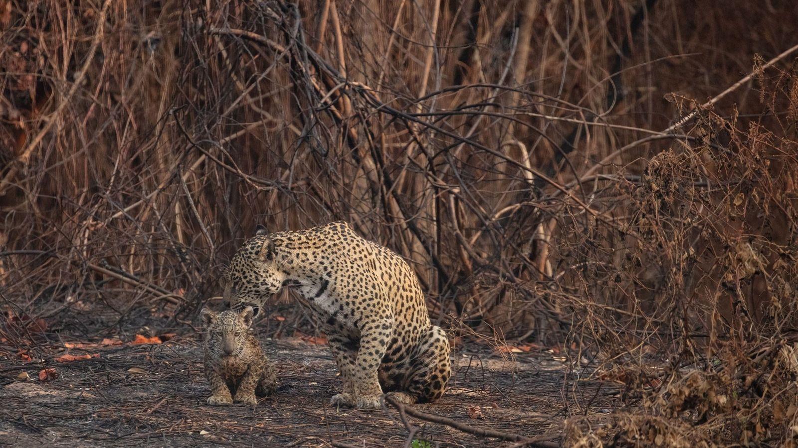 Una madre jaguar y su cría en medio de la vegetación incendiada del Parque Estatal Encontro ...