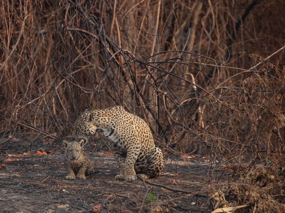 Voluntarios rescatan jaguares y otros animales heridos durante los incendios forestales en Brasil