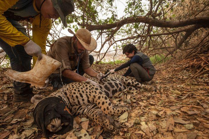 Un equipo de veterinarios voluntarios captura un jaguar herido durante los incendios forestales cerca de Porto ...