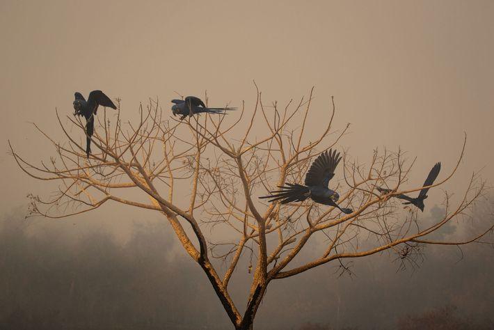 Un grupo de guacamayos jacinto en un árbol quemado por los incendios en el Pantanal de ...