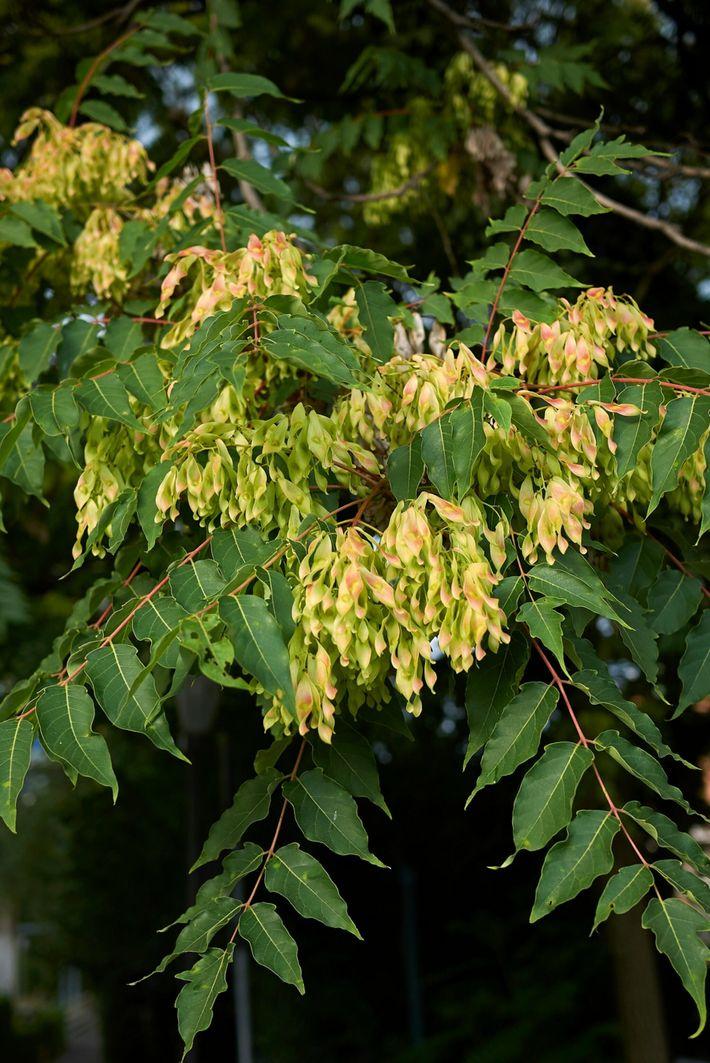 Ailanthus altissima - Image ID: PBBKB1 (RF)