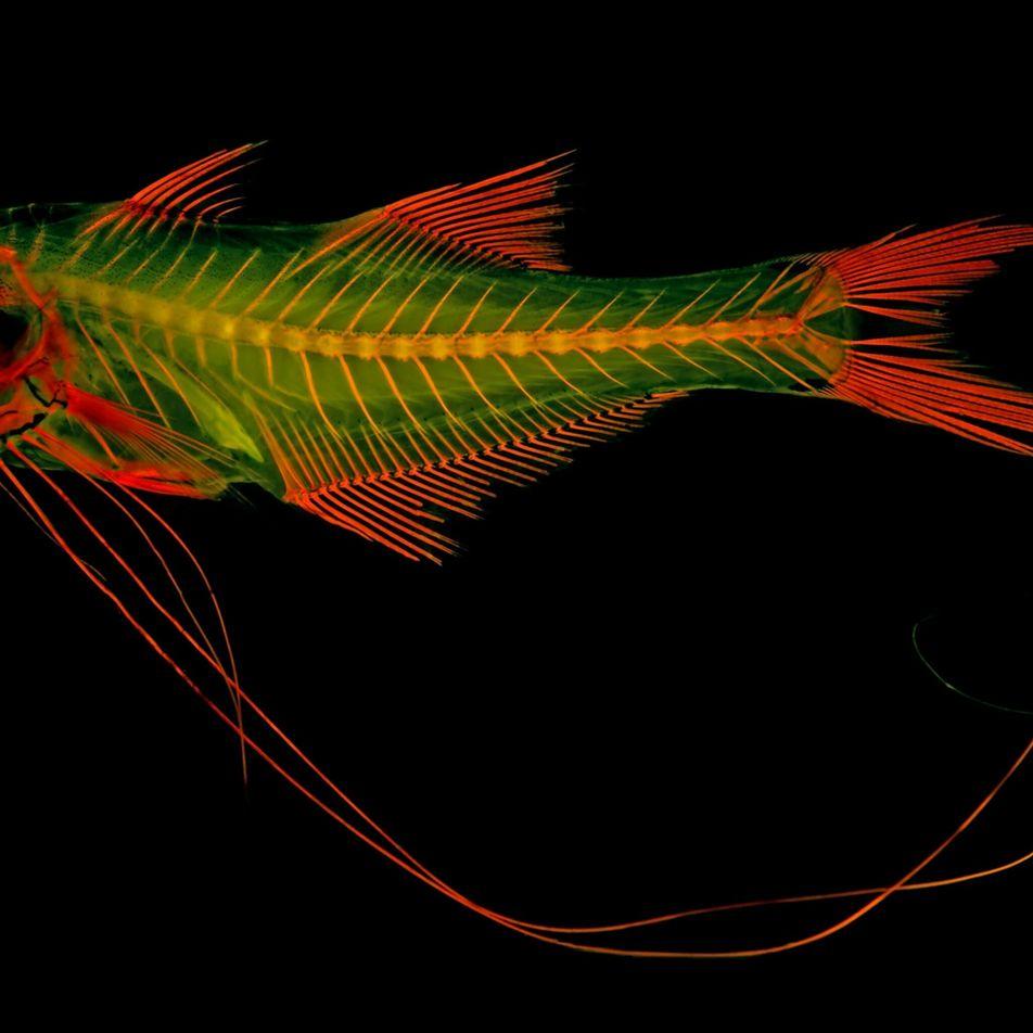 Imágenes fluorescentes de esqueletos de animales