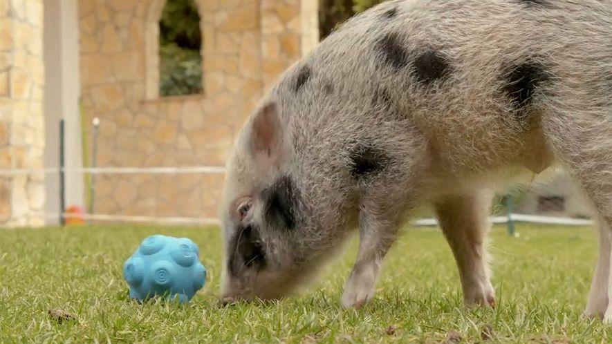 Observa cómo los cerdos se comunican con los humanos en este nuevo experimento