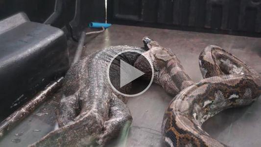 Mira cómo una pitón vomita a un enorme lagarto monitor