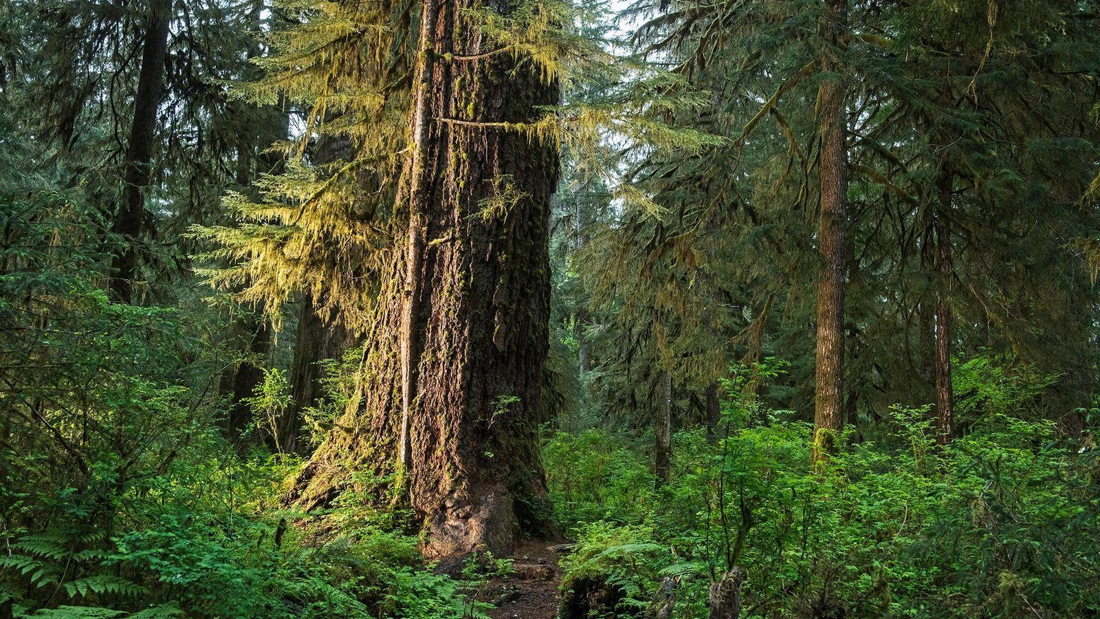 Bosques como el Hall of Mosses en el Parque Nacional Olympic de Washington son sumideros críticos ...