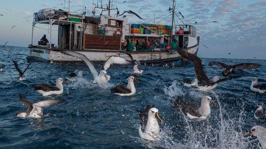 Albatros y pardelas comen sardinas que los marineros arrojan desde una embarcación.