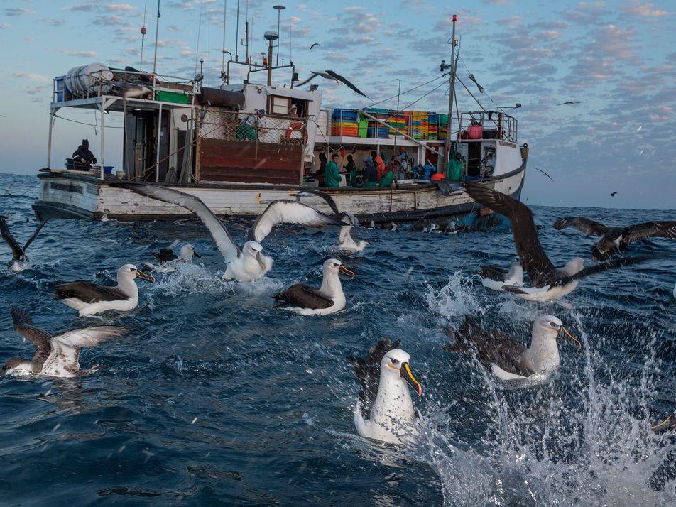 Las aves marinas que comen plástico (y sobreviven) presentan problemas graves de salud