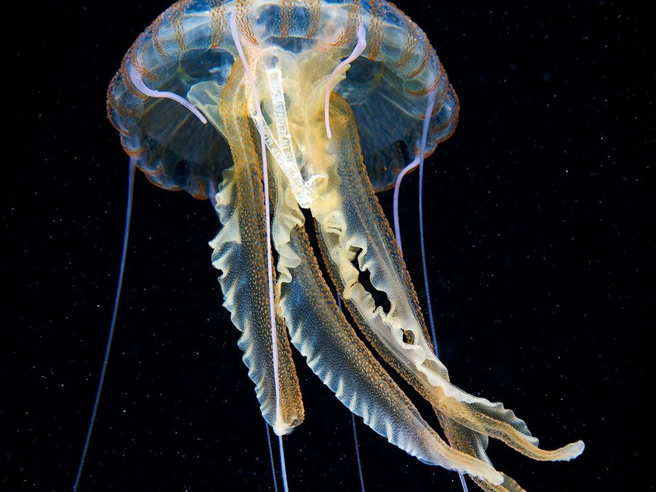 Encuentran envoltorio de plástico de cigarrillos dentro de una medusa