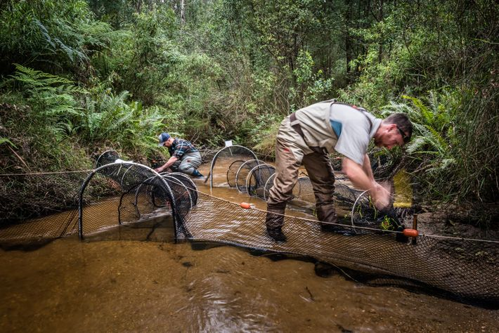Josh Griffiths y el investigador Farley Connelly colocan redes para capturar ornitorrincos. Después de que caiga ...