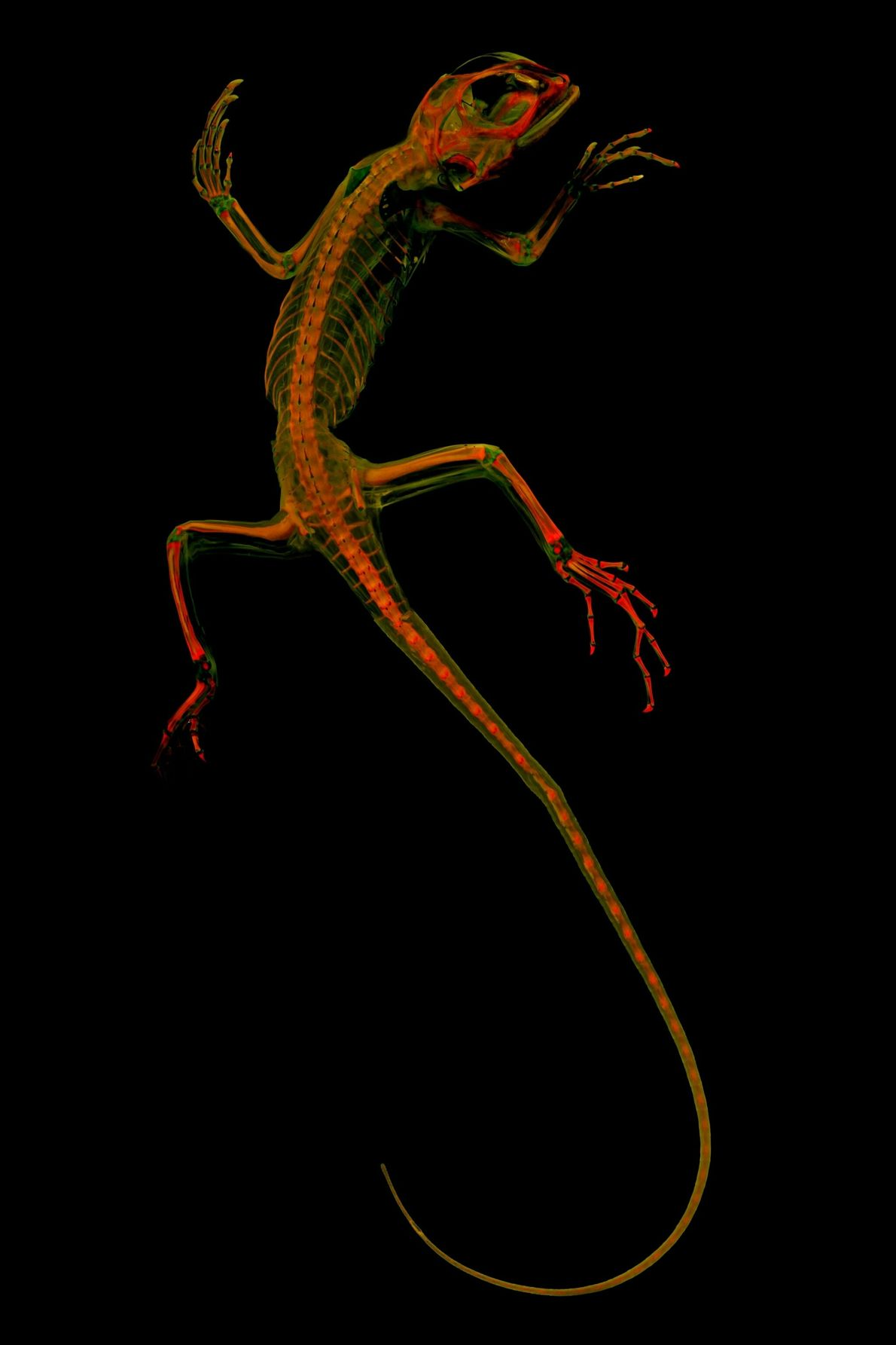 vertebrate-skeletons-4