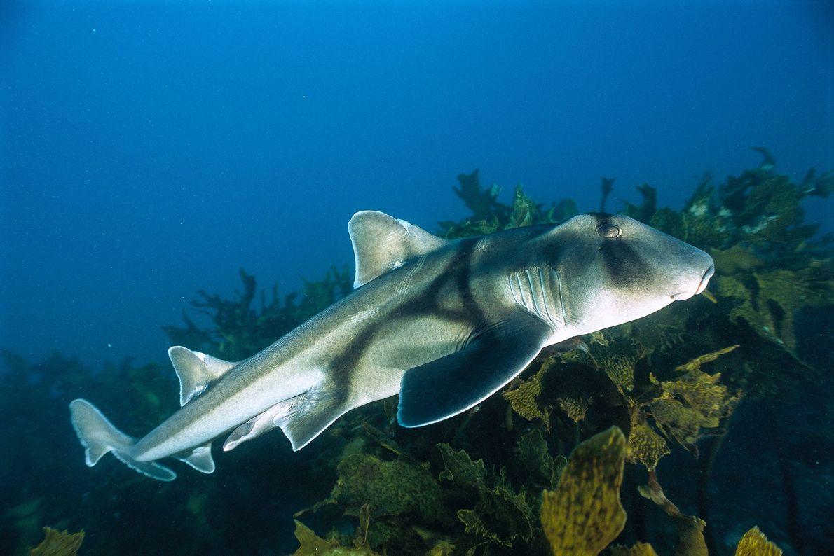 Tiburón de Port Jackson. Jervis Bay, Nueva Gales del Sur, Australia.