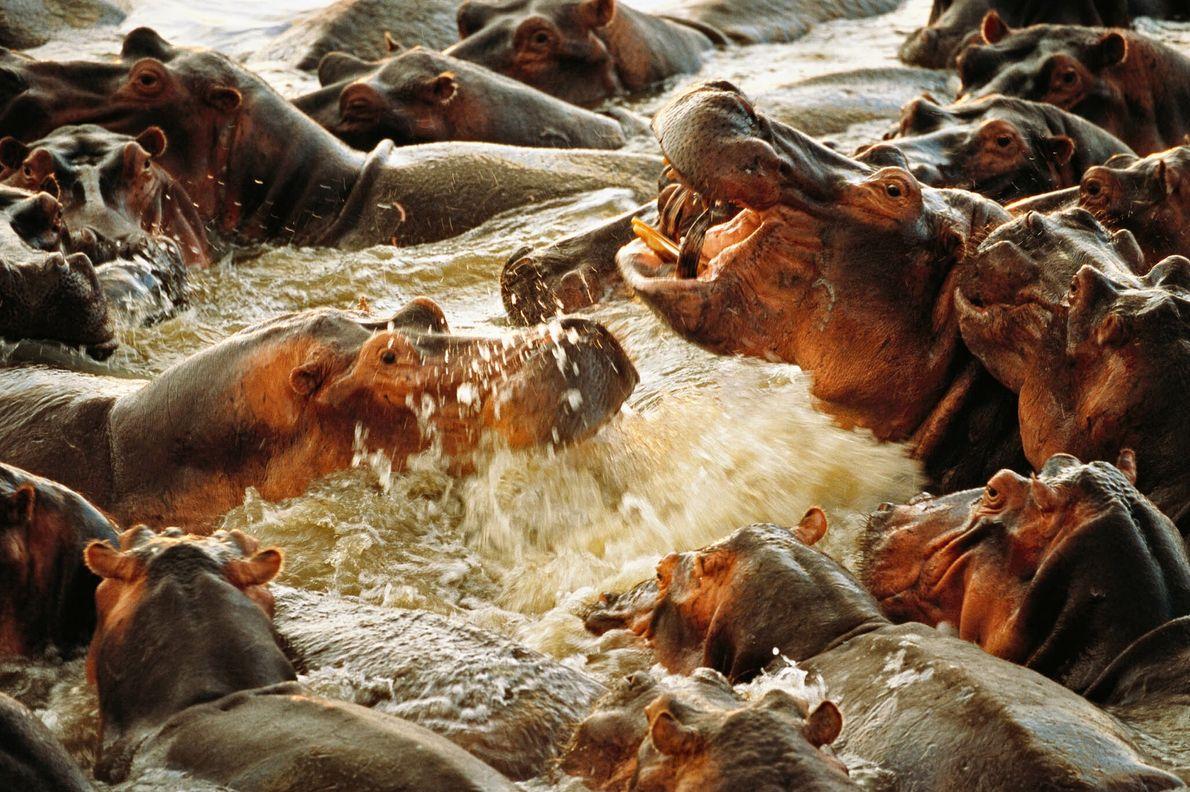 Hipopótamos furiosos