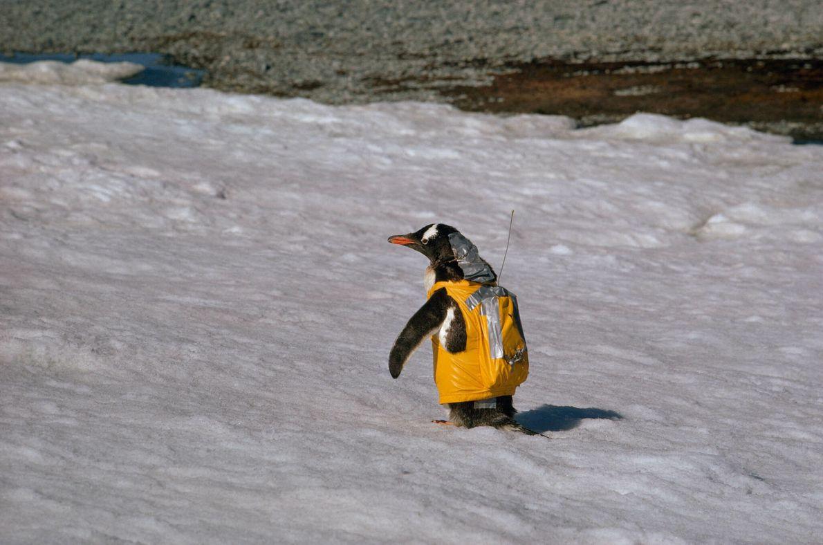 Traje de pingüino