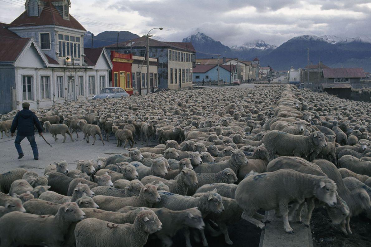 Traslado de ovejas