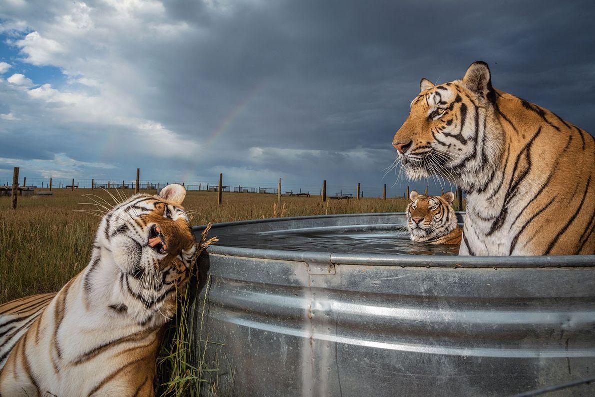 Tigres bañándose
