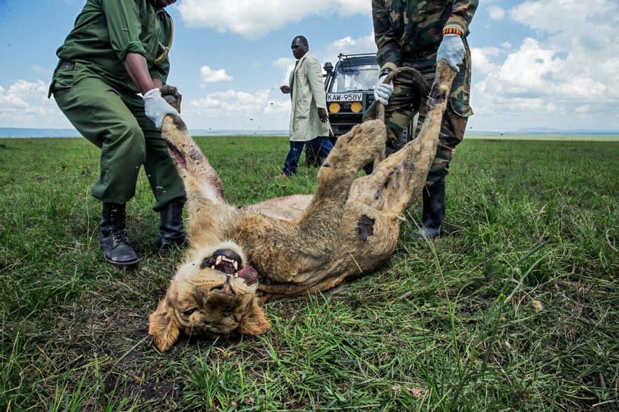 A young male lion was one of three members of Kenya's famous Marsh Pride to die ...