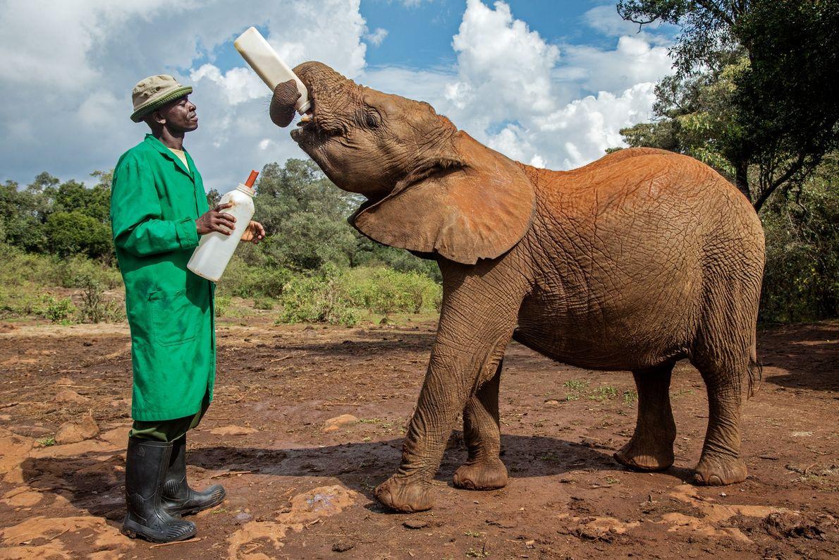 Este joven elefante, bajo resguardo en una reserva en Nairobi, quedó huérfano en Masai Mara cuando ...