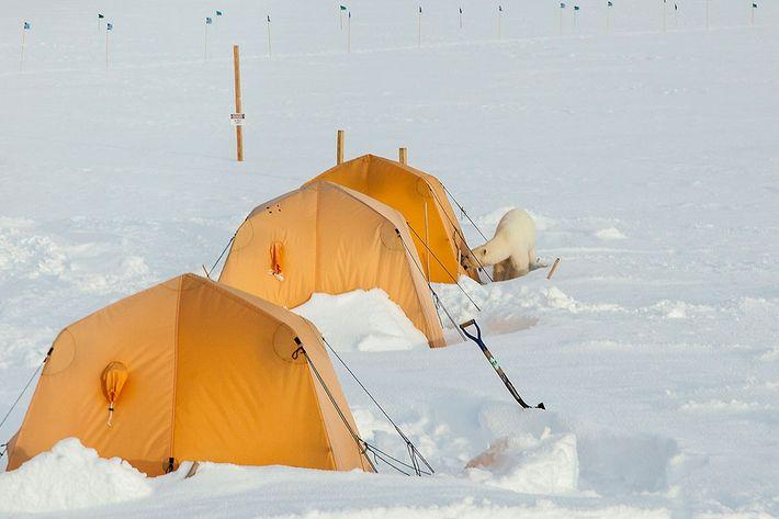Este oso polar hurgó en Summit Station en la parte alta de Groenlandia este verano, donde ...