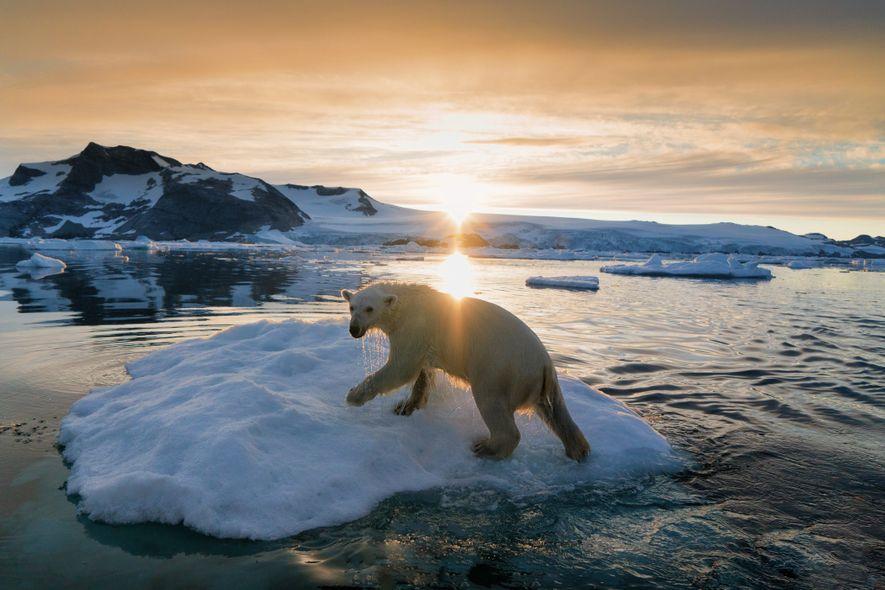 Un oso polar se desplaza por los climas árticos de Groenlandia. Después de que la IUCV ...