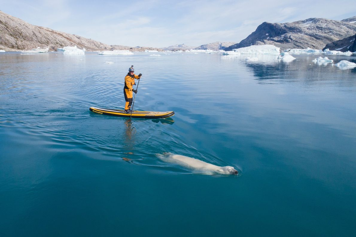 Un hombre se acerca a un oso polar mientras practica paddleboarding en el mar de Groenlandia.