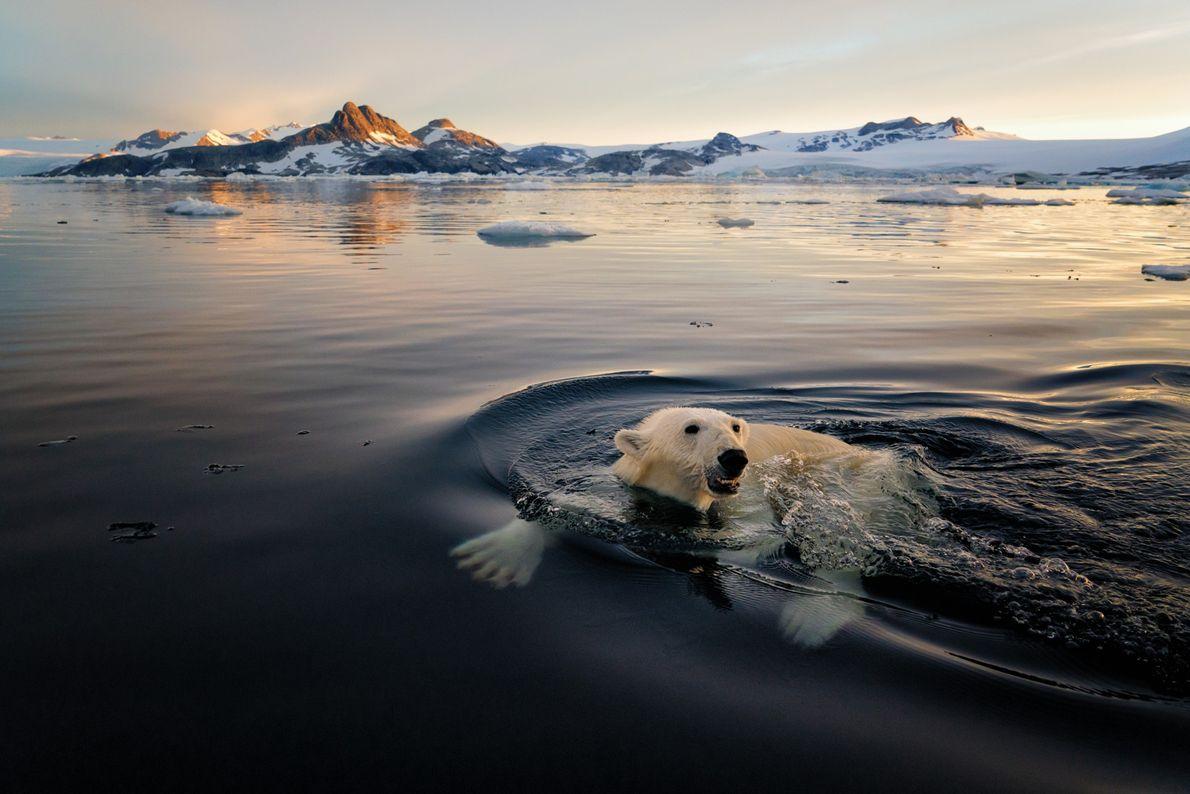 Los osos polares, que se encuentran con mayor frecuencia en la costa este de la isla, ...