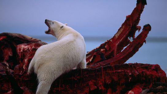 Un oso polar hurga en un cadáver de ballena boreal junto al mar de Beaufort en ...