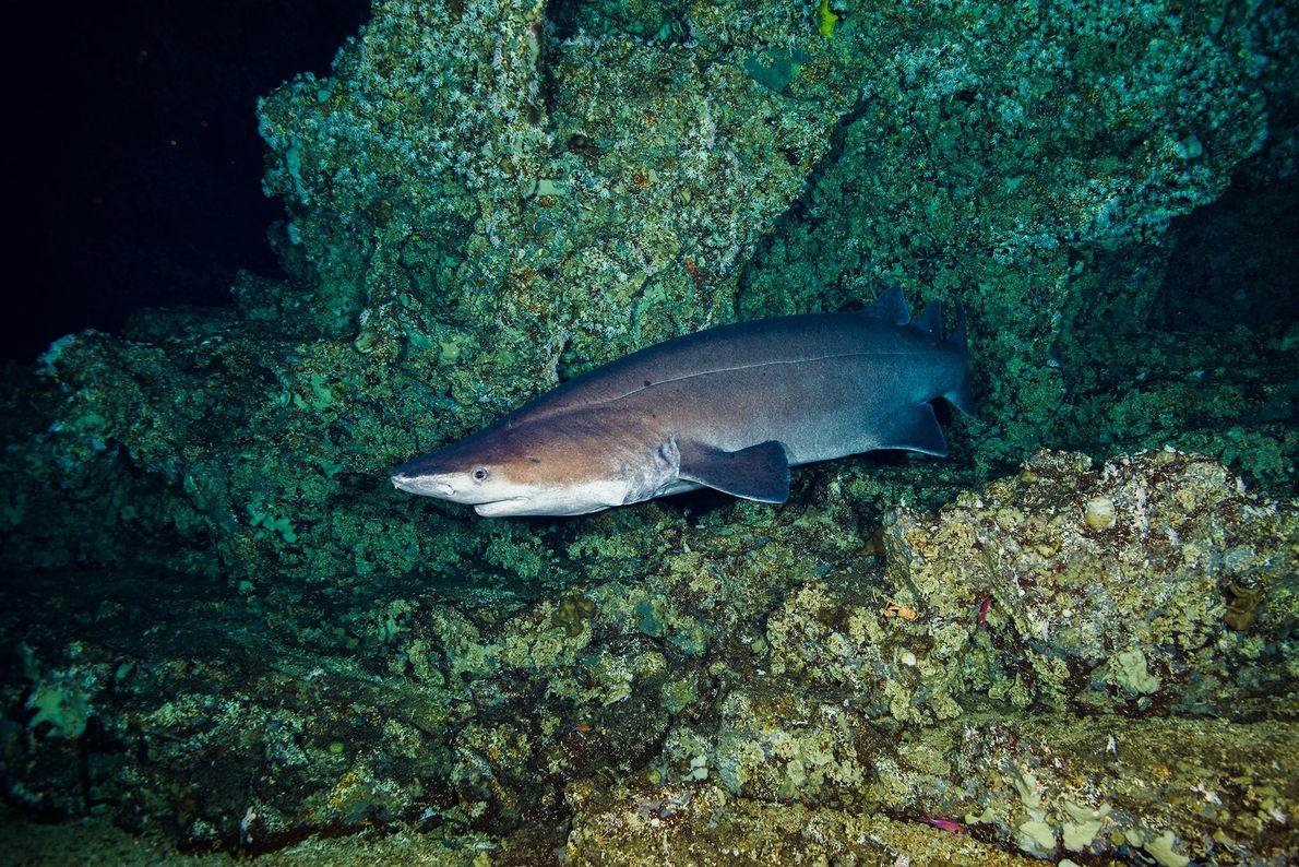Tiburón negro espinoso. Las Gemelas, Costa Rica.