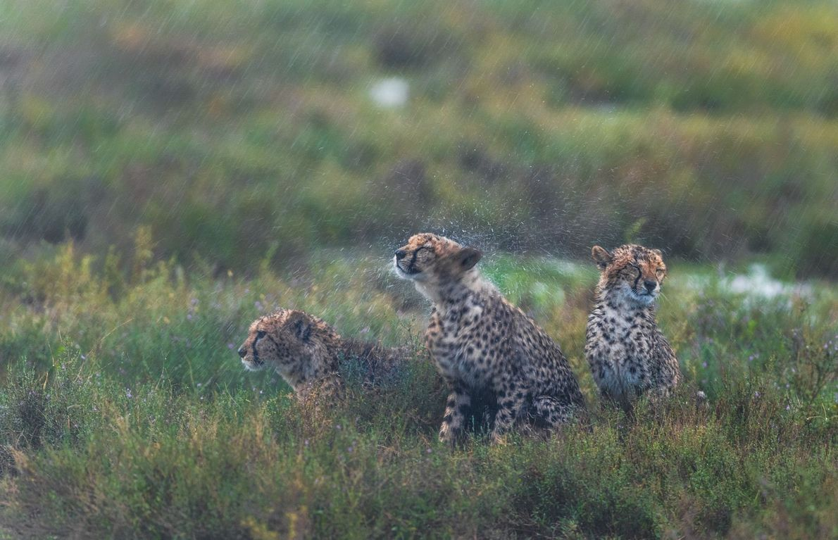 Ndutu, Área de Conservación de Ngorongoro, Tanzania