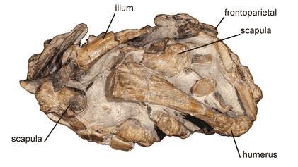 Argentina: encuentran una nueva especie de rana conservada en una regurgitación fosilizada de unos 60 millones ...