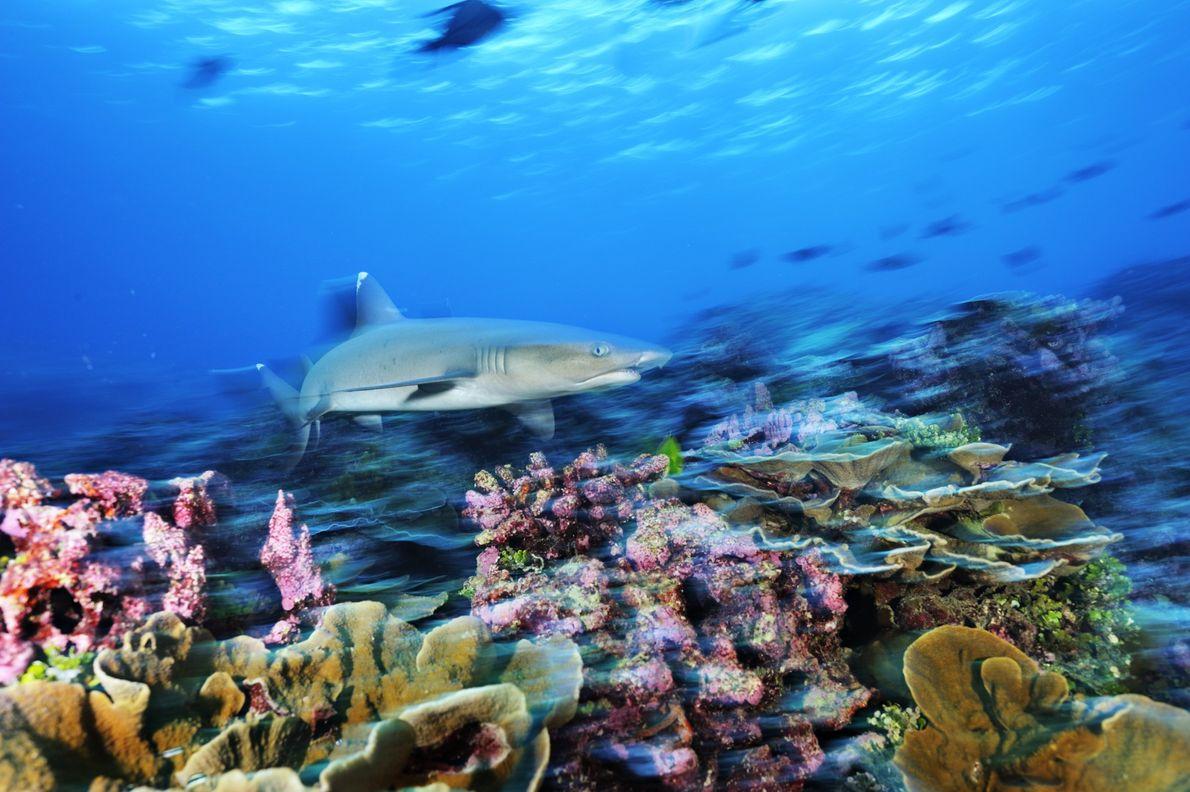 Un tiburón de arrecife de punta blanca nada sobre un coral recuperado en el Área Protegida ...