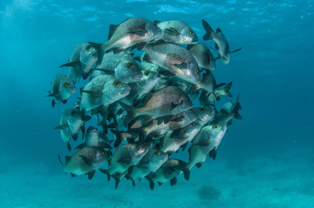 """Un grupo de """"Anisotremus surinamensis"""" en un arrecife en la Hol Chan Marine Reserve, la más …"""