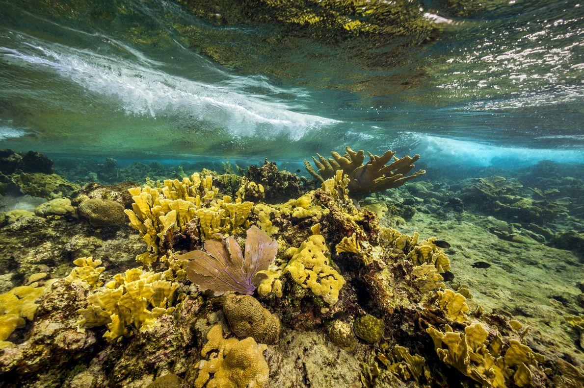 Coral cuerno de alce protegidos, corales cerebros y abanicos de mar en el Monumento Nacional Buck ...