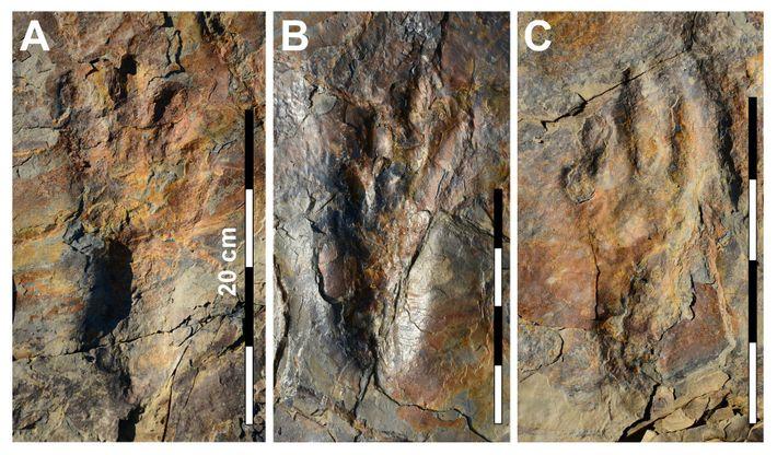 Fotografías de impresiones de huellas bien conservadas del pariente del cocodrilo Batrachopus grandis.