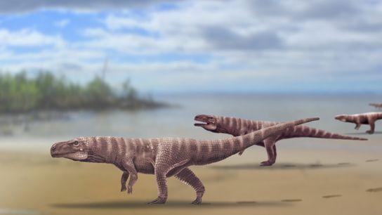 La reconstrucción del Batrachopus grandis, un crocodilomorfo propuesto que vivió hace más de 110 millones de ...