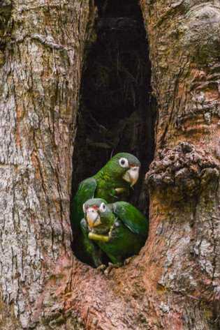Dos loros puertorriqueños con radio collar se asoman por la cavidad de su nido. Los collares les permiten ...