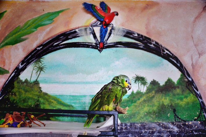 Una amazona alinaranja tímida se sienta sobre una jaula en la Fundación The Wilson Parrot en ...