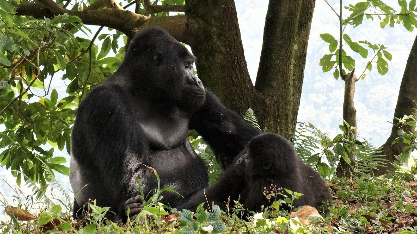 Rafiki (en la foto con una hembra) había encabezado este grupo de 17 gorilas desde 2008.