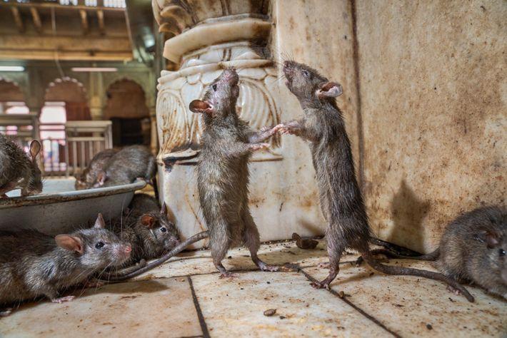 En el templo Karni Mata de la India, dos ratas boxean para determinar cuál es la ...